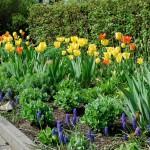 Tulpen und Traubenhyazinten auf der Westseite des Platzes.