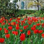 Tulpen auf der Ostseite des Platzes mit dem Phoenix im Hintergrund.