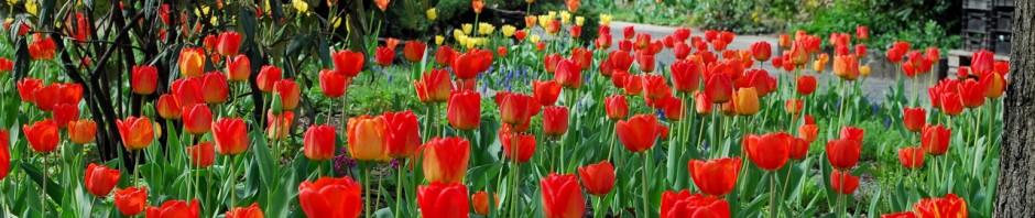 Tulpen auf der Ostseite des Platzes.