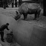 Friedrich Seidenstücker, Herbst im Zoo, afrikanisches Nashorn, um 1955 Copyright: Berlinische Galerie, Museum für Moderne Kunst