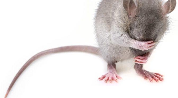 Ratten am Bundesplatz