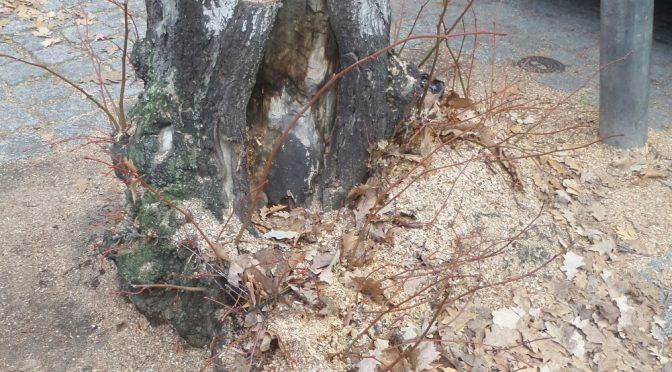 Baumnachpflanzungen in den Straßen um den Bundesplatz